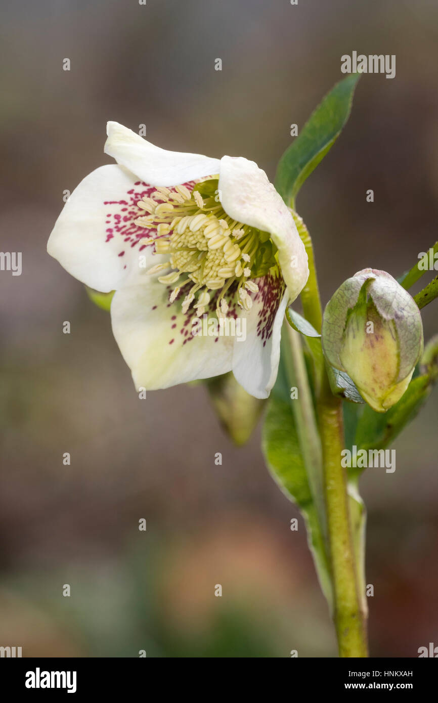 Red spots overlay a white petal colour in a form of the Lenten rose, Helleborus x hybridus Stock Photo