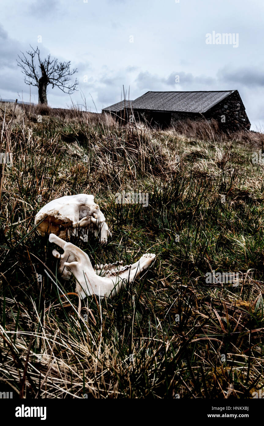 Sheep skull bones and Irish mystery landscape concept - Stock Image