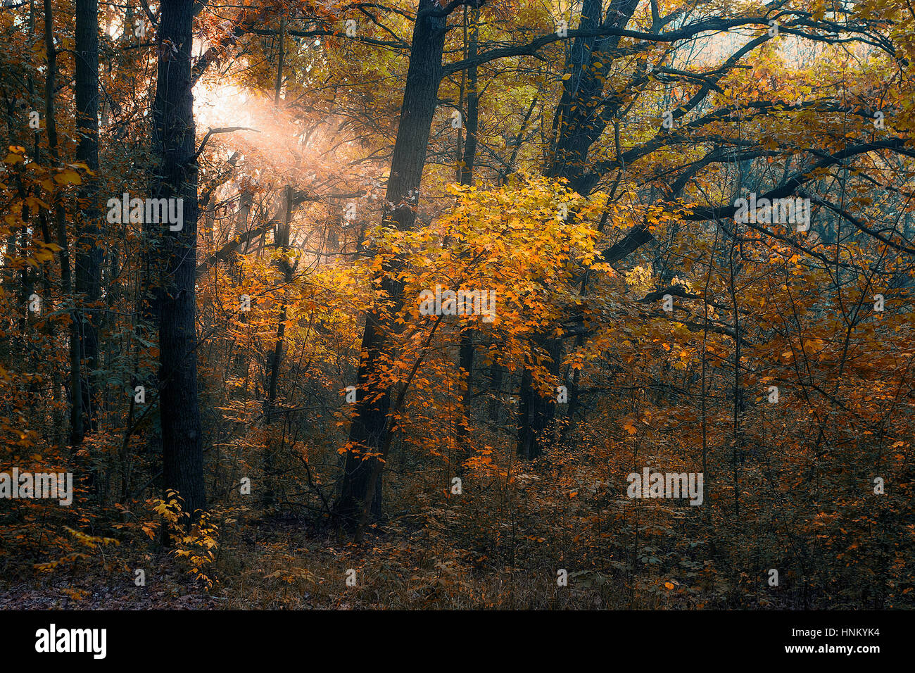 Autumn forest in sunset - Stock Image