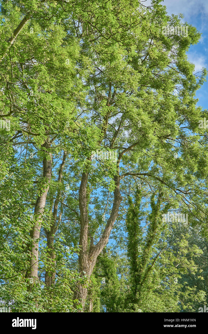 A healthy ash tree canopy in summer leaf Stock Photo