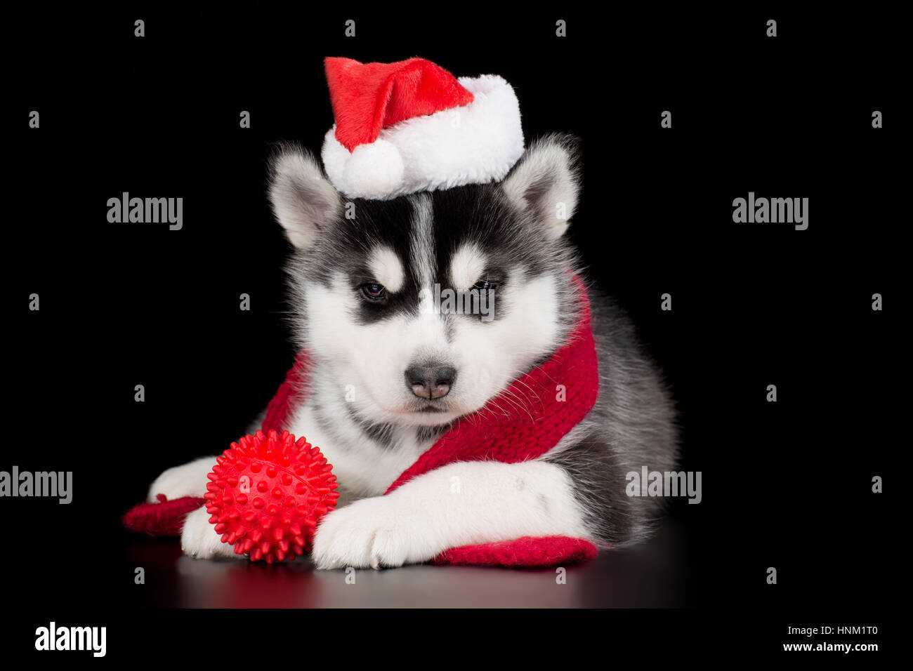 Merry Christmas Puppies.Cute Siberian Husky Puppy In The Santa Hat Merry Christmas