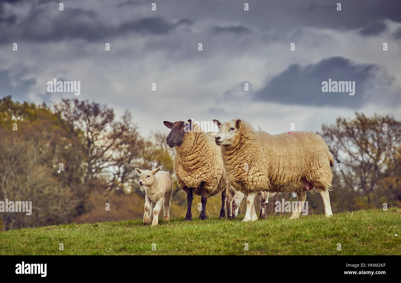 Black and White face Sheep breeds with a lamb - Stock Image