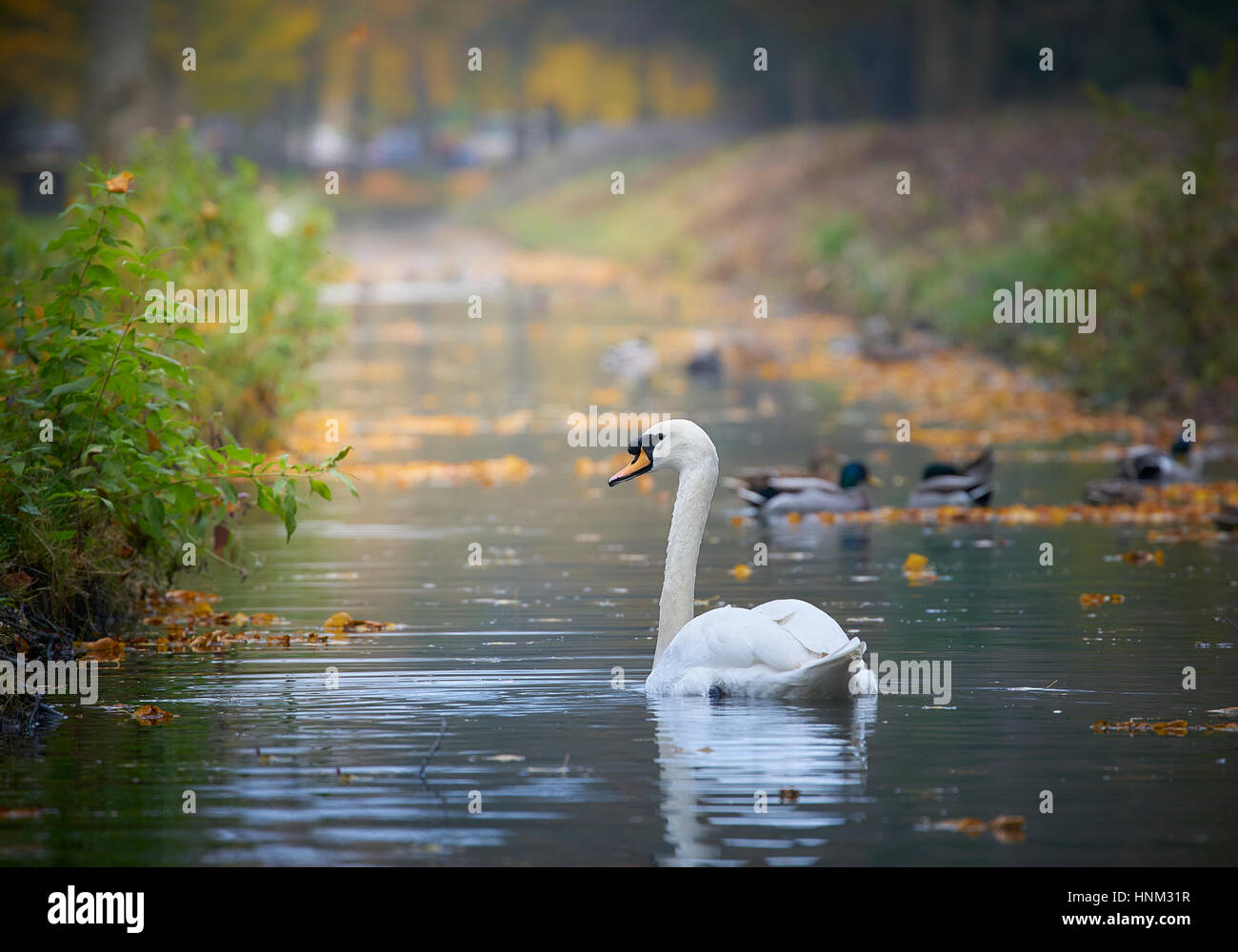 A cob swan swimming on a river in autumn - Stock Image