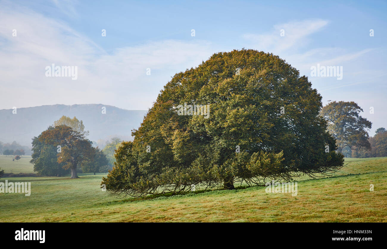 An old beech tree with a clear browse line in a parkland setting - Stock Image
