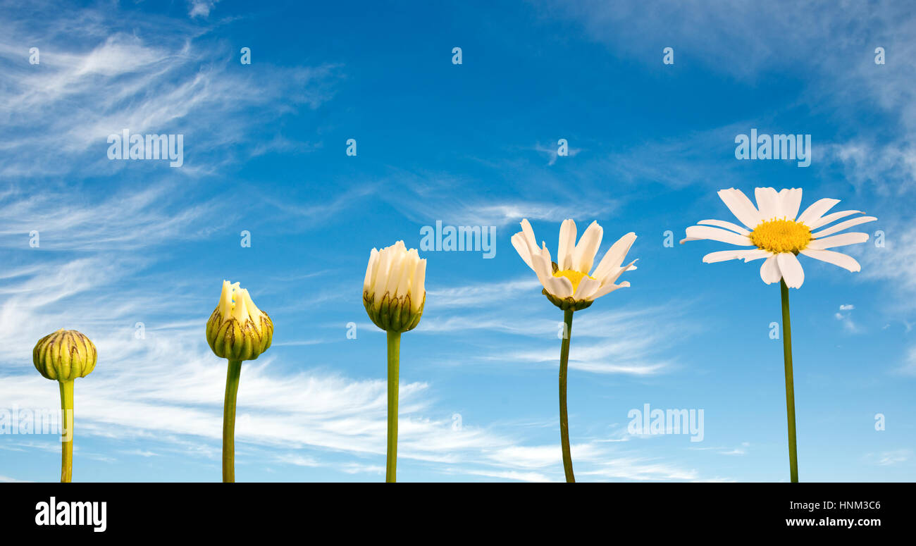 Stages of growth and flowering of a daisy, blue sky background, life concept - Stock Image