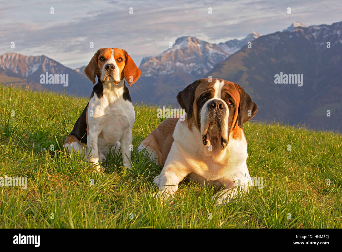 Bernhardiner und Beagle Ruede zusammen auf Bergwiese|Beagle and Saint Bernard Dog sitting together in meadow - Stock Image