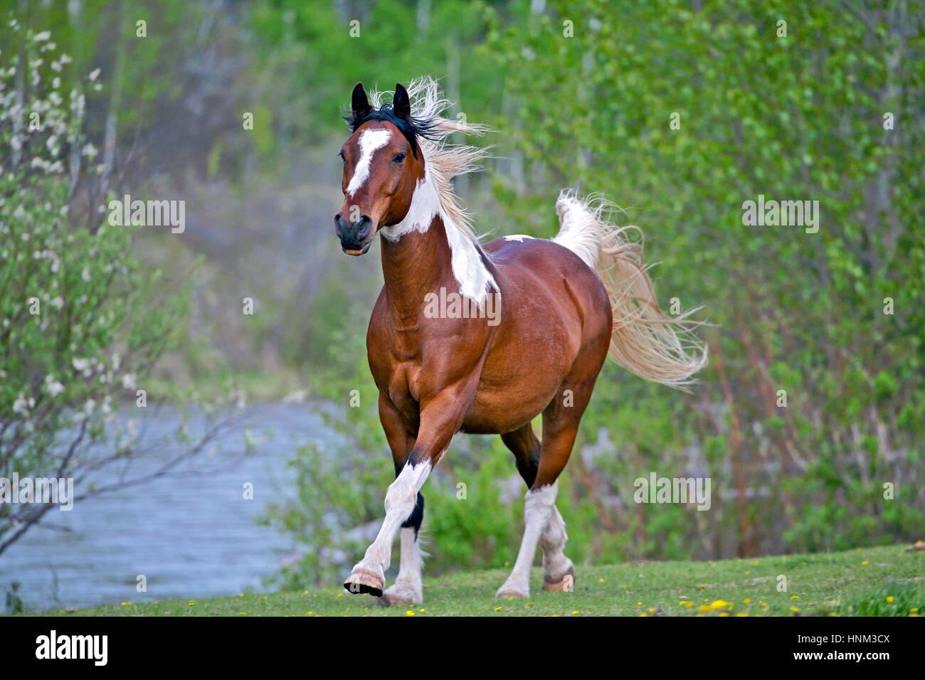 Pinto Arabian  Gelding running in spring meadow - Stock Image