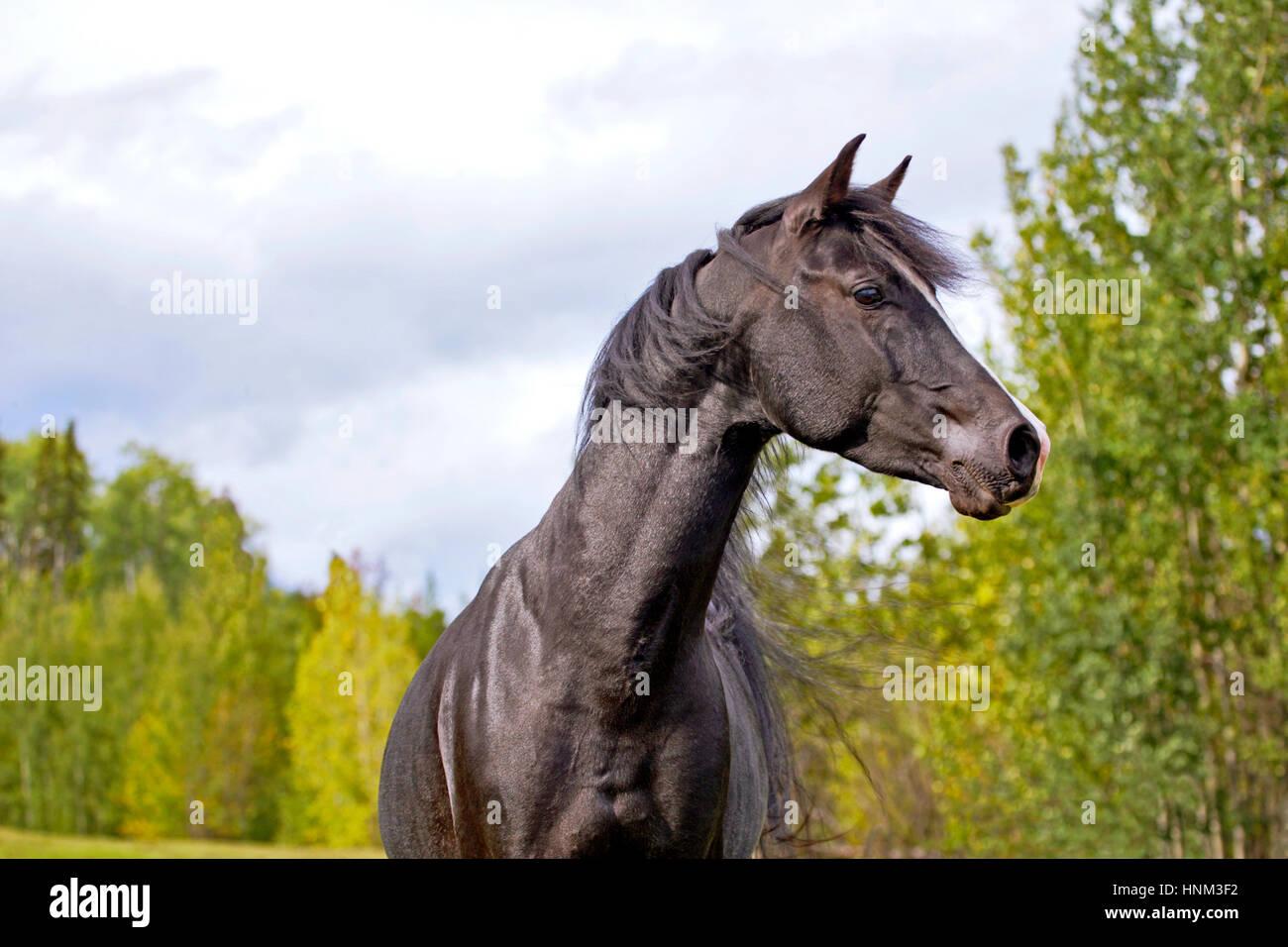 Black Arabian Stallion running on meadow, alert - Stock Image