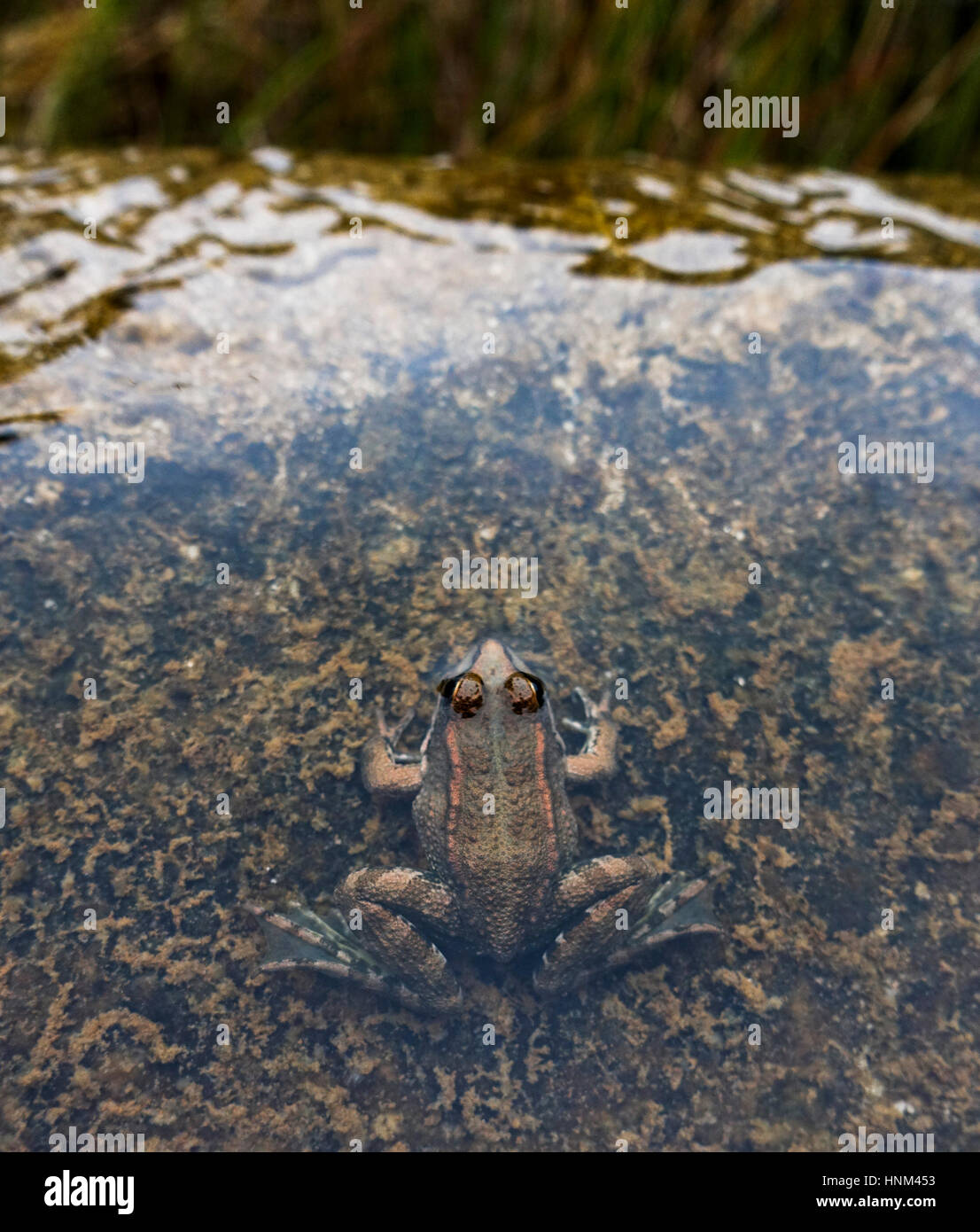 Iberian water frog, Pelophylax perezi in pond Andalusia, Spain - Stock Image
