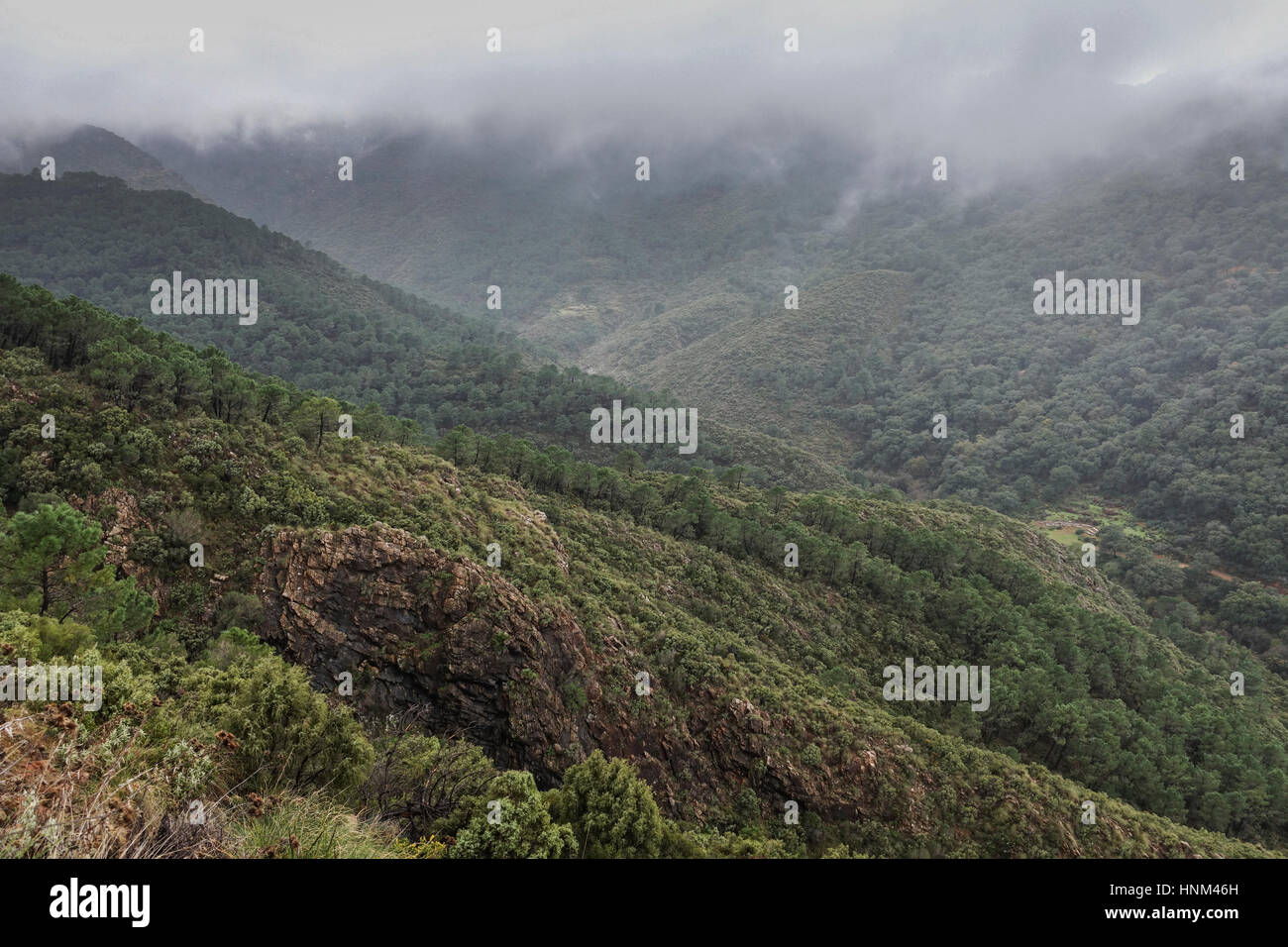 Scenic Pine forest in mountains with low hanging clouds, Sierra Alpujata, Coin, Spain. - Stock Image