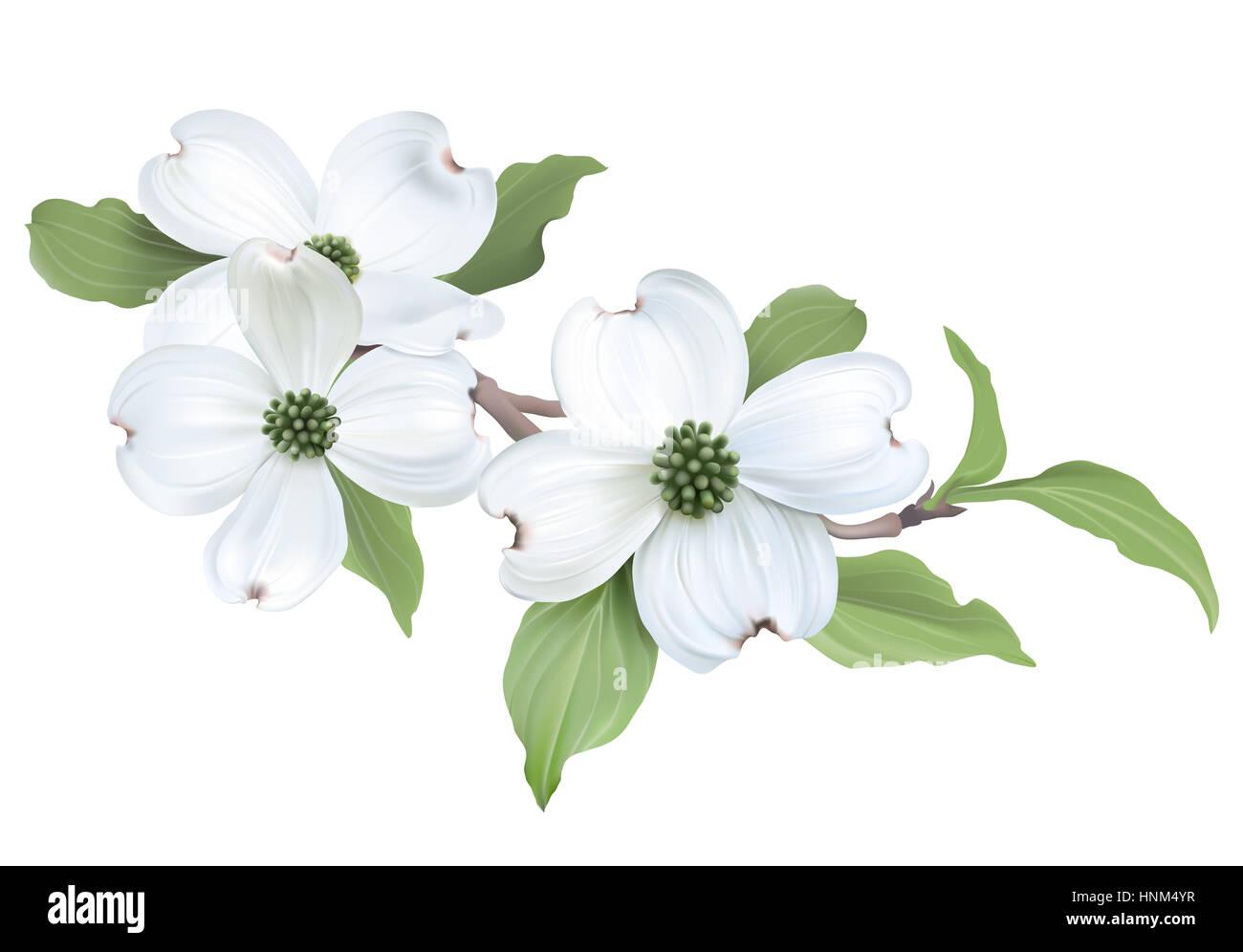 White Dogwood Cornus Florida Flowers Digital Illustration On