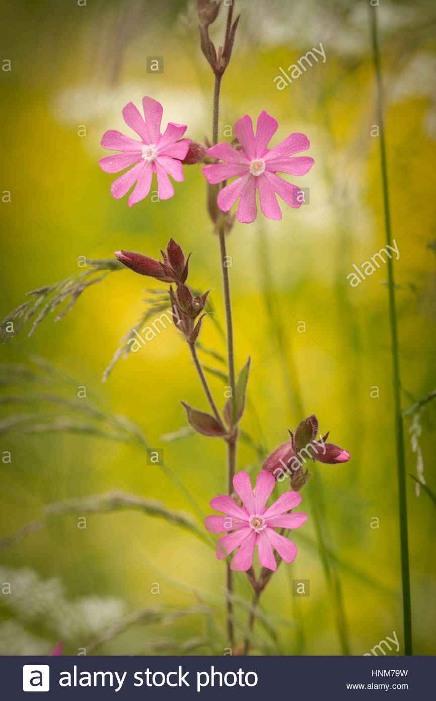 closeup of lila flowers with yellow back ground - Stock Image