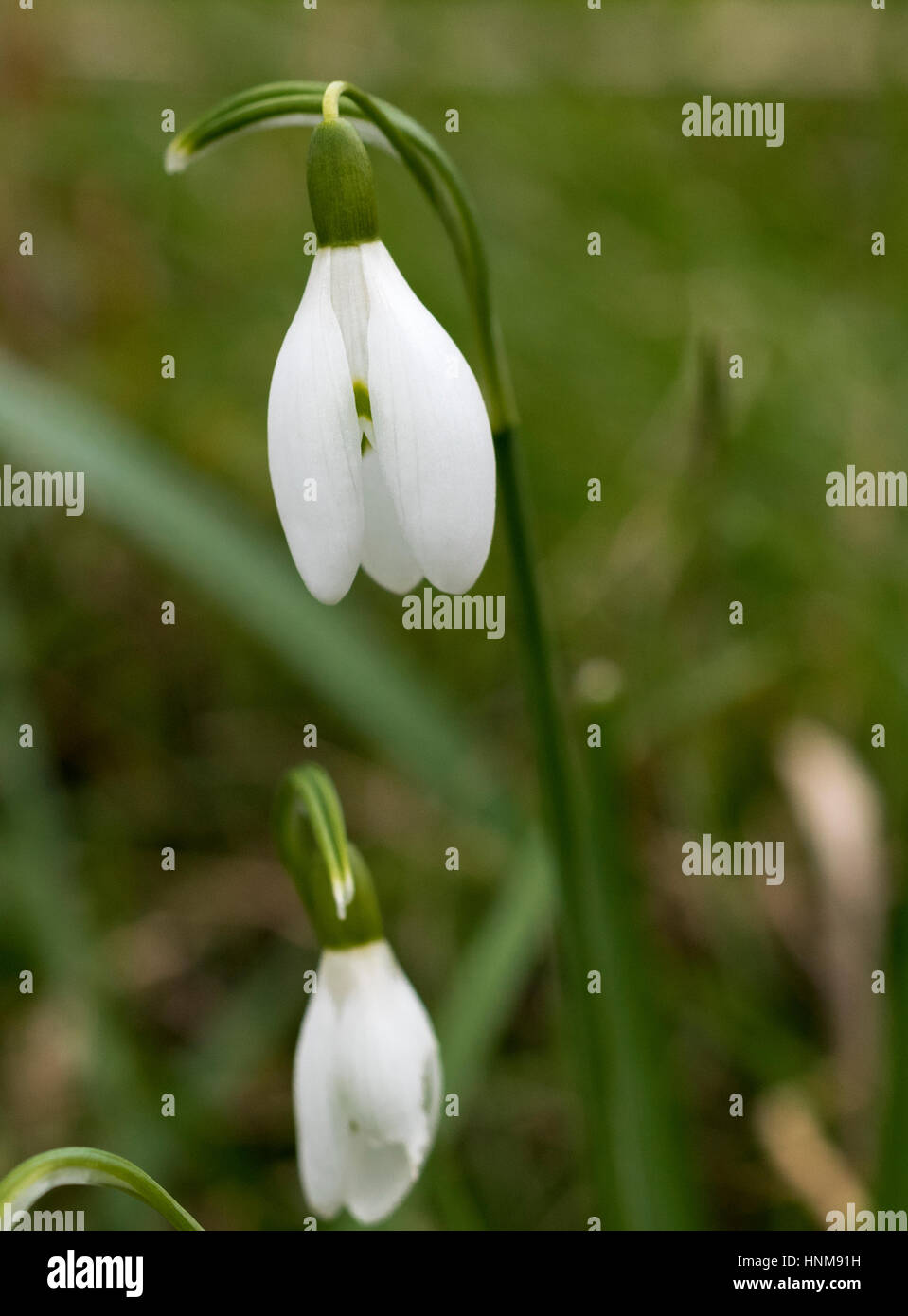Snowdrops (Galanthus  spp. in February at Barnack Hills and Holes National Nature Reserve (NNR) and Site of Special - Stock Image