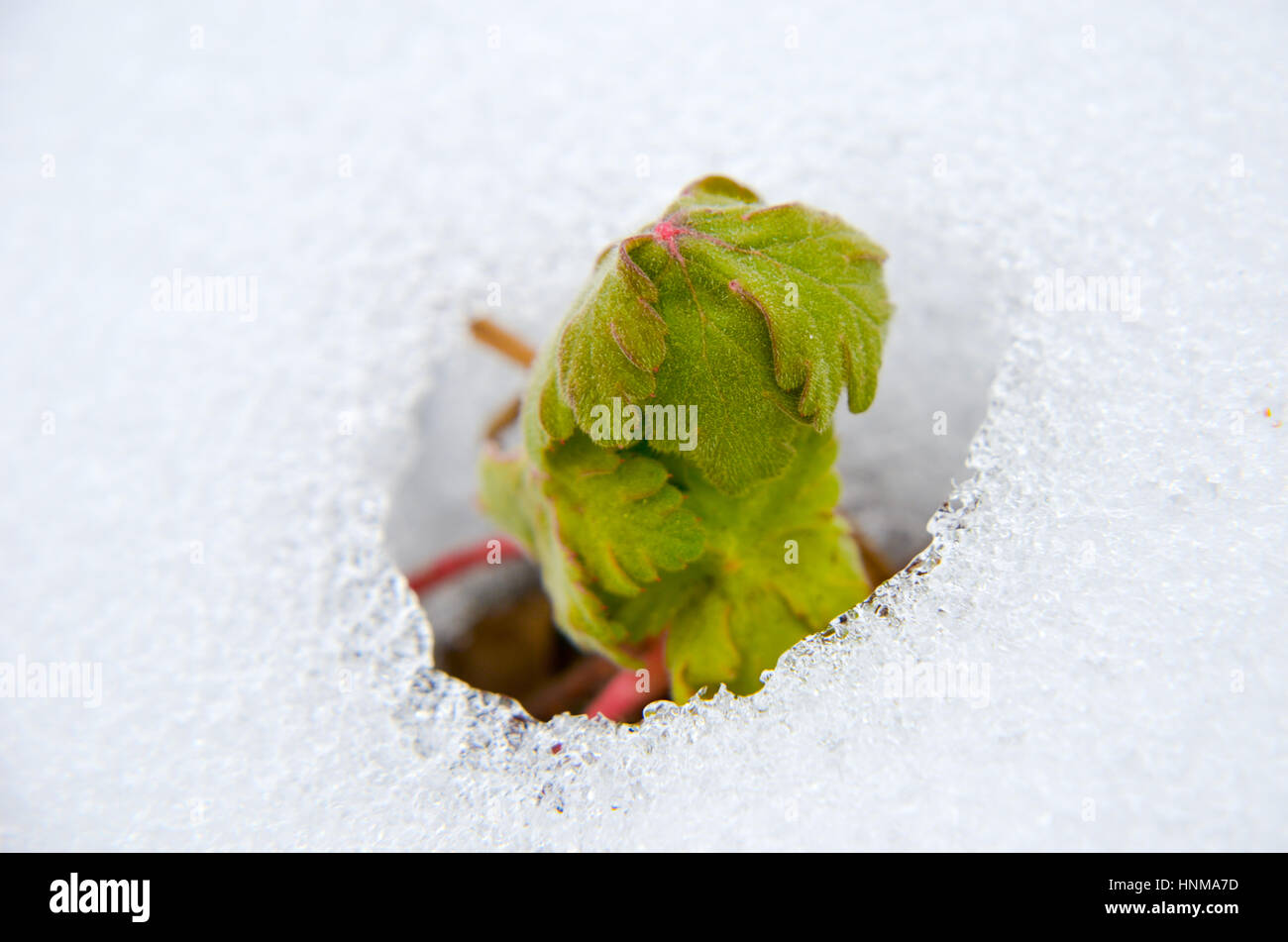 Image of early sprout appearing from melting snowcover in spring - Stock Image