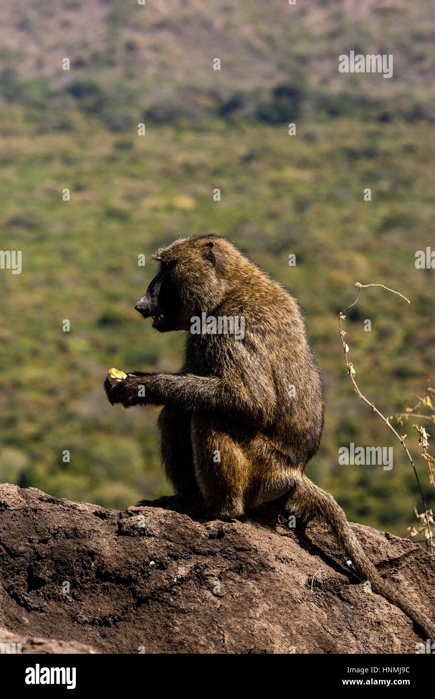 A Baboon Eating A Piece Of Bread, Nechisar National Park, Arba Minch, Ethiopia Stock Photo