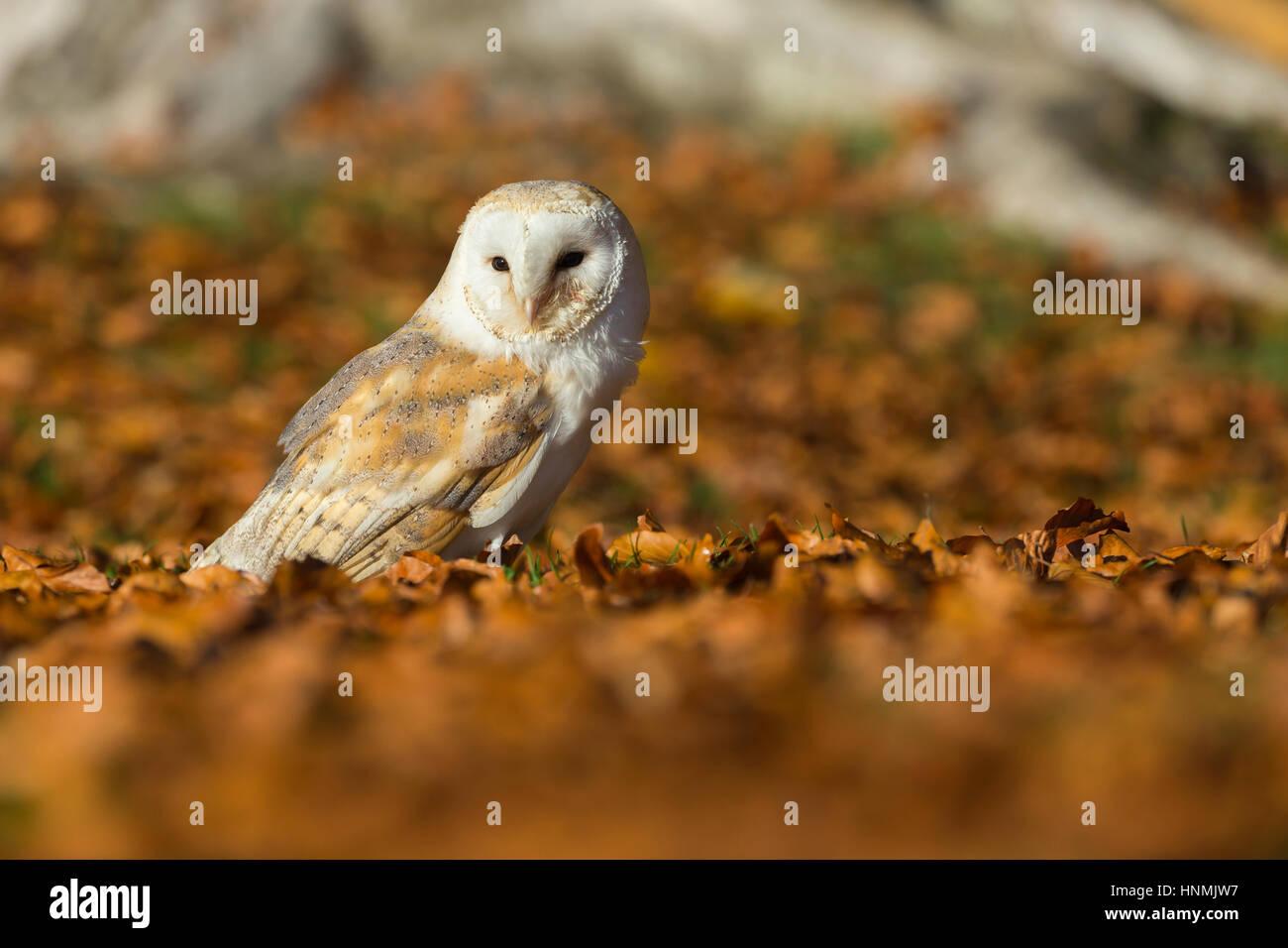 Barn owl Tyto alba (captive), adult female, resting amongst beech leaves, Hawk Conservancy Trust, Hampshire, UK - Stock Image