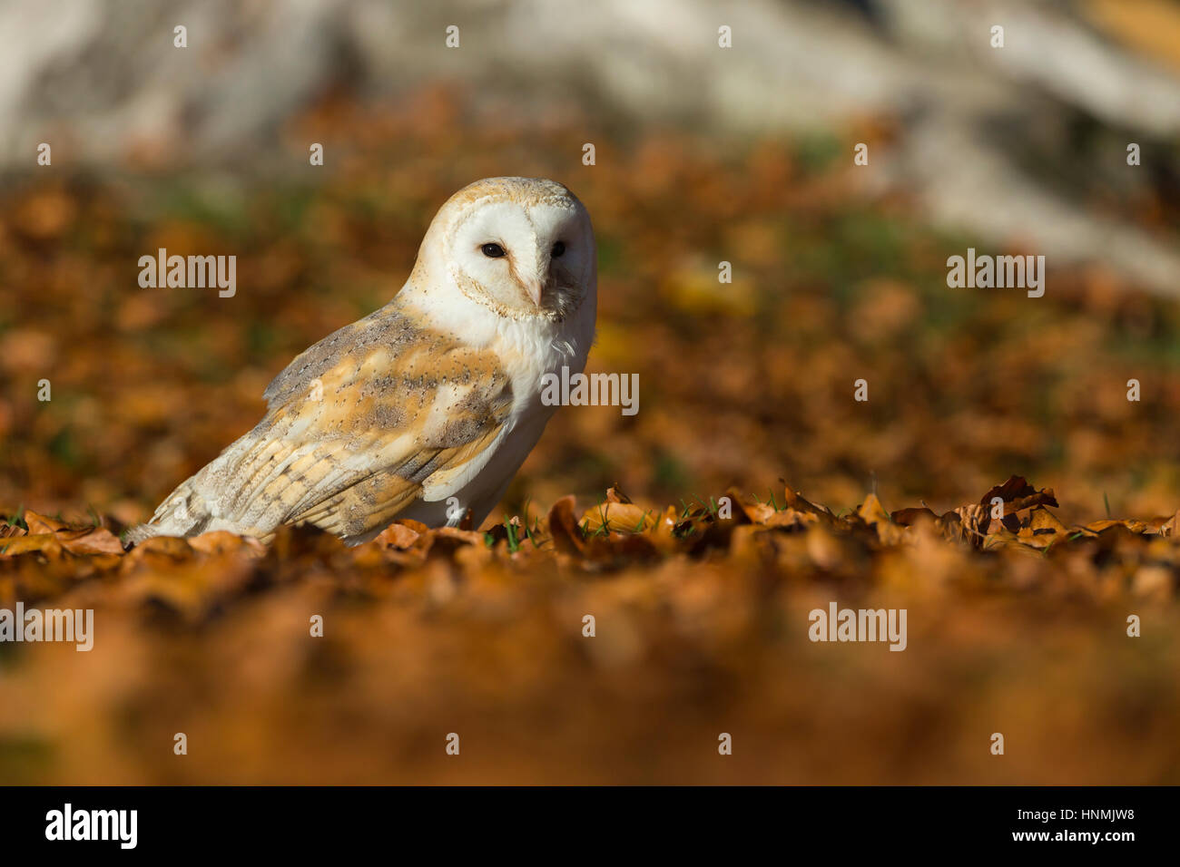 Barn owl Tyto alba (captive), adult female, resting amongst beech leaves, Hawk Conservancy Trust, Hampshire, UK - Stock Image