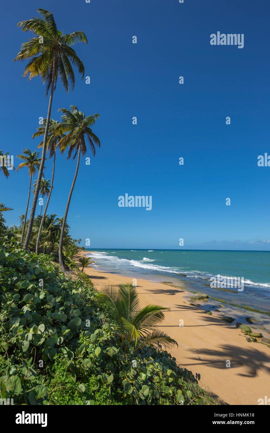 TALL PALM TREES PLAYA PINONES BEACH LOIZA PUERTO RICO - Stock Image