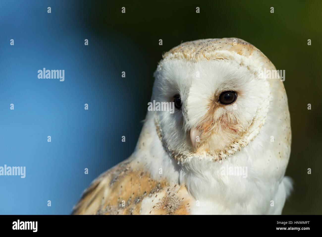 Barn owl Tyto alba (captive), adult female, profile, Hawk Conservancy Trust, Hampshire, UK in November. - Stock Image