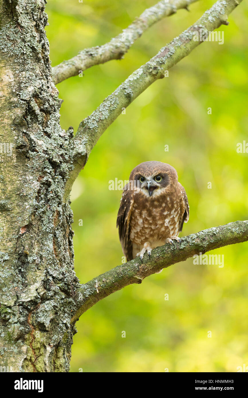 Southern boobook Ninox boobook (captive), adult female, perched in tree, Hawk Conservancy Trust, Hampshire, UK in - Stock Image