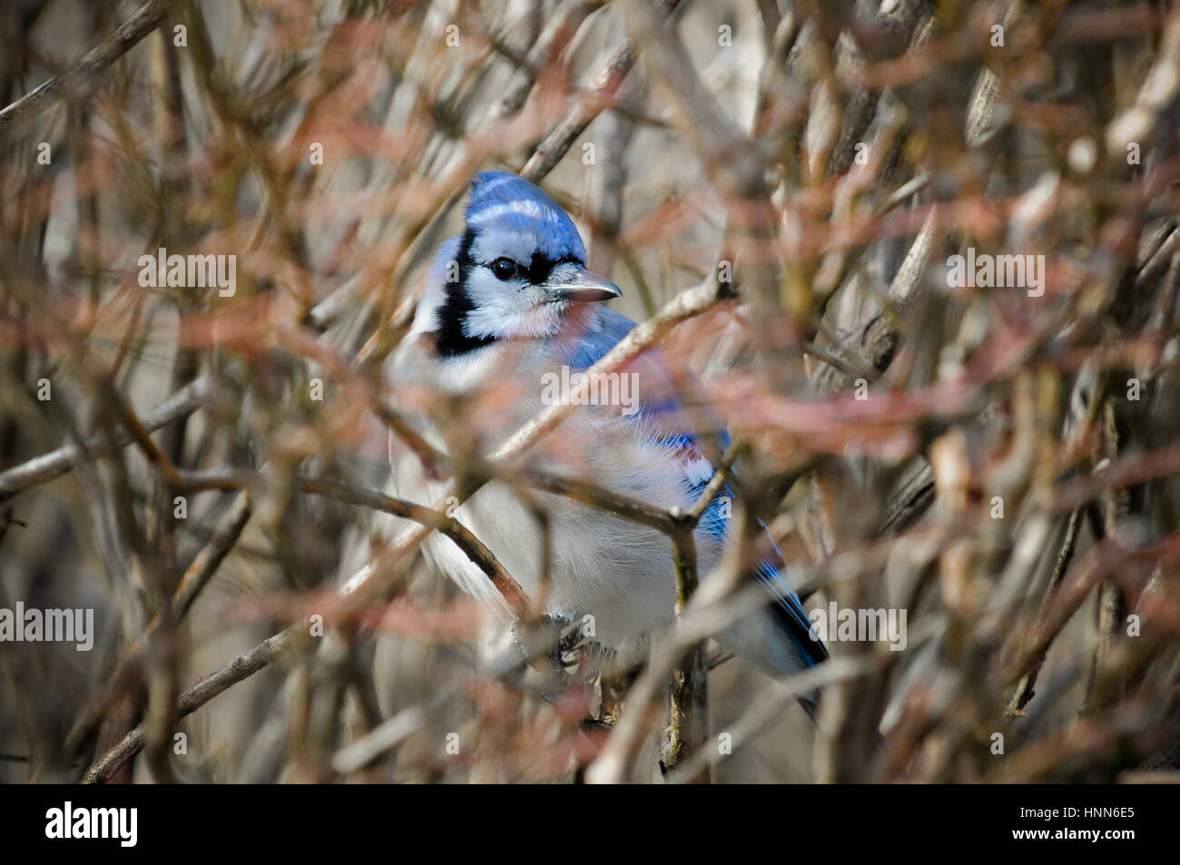 A Blue Jay perches deep in a leafless bush of many branches. Stock Photo