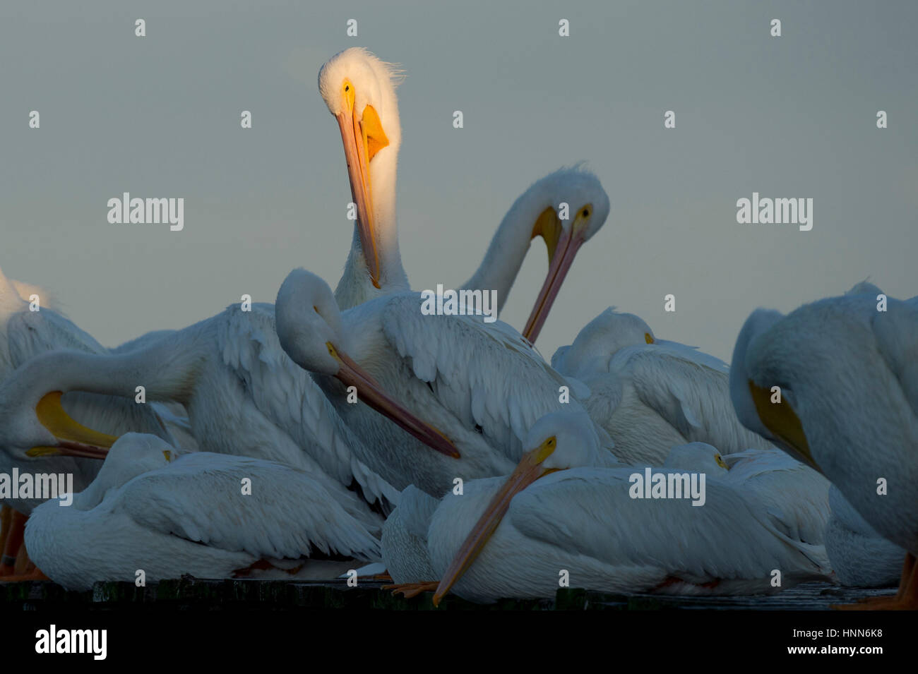 A single White Pelican stands out in a spotlight of sun among a flock of other pelicans resting and preening on - Stock Image