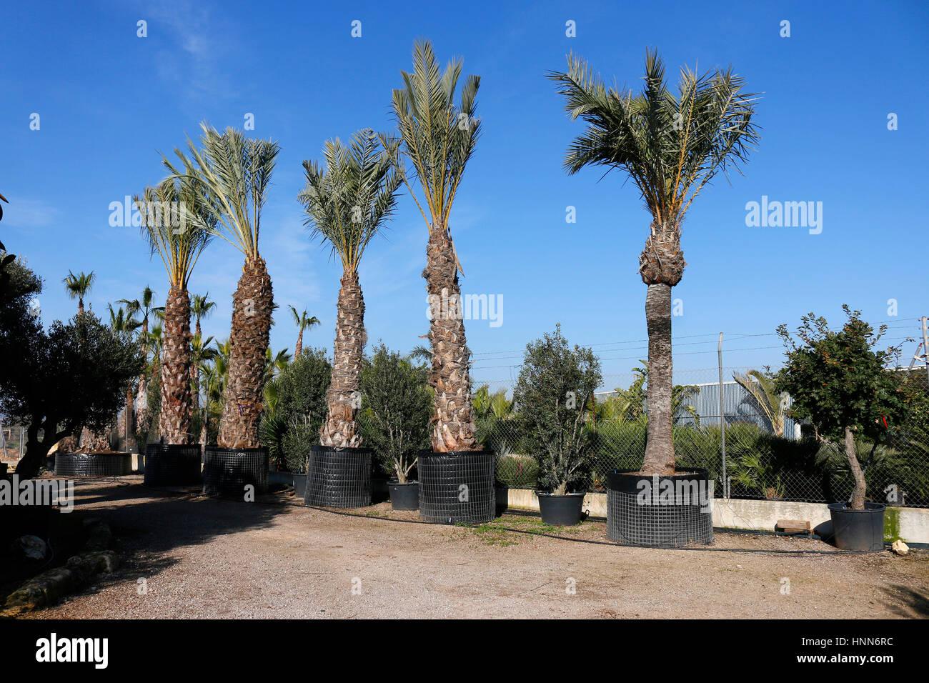 Palmen, die zum Verkauf in einer Gaertnerei angeboten werden, Mallorca. - Stock Image
