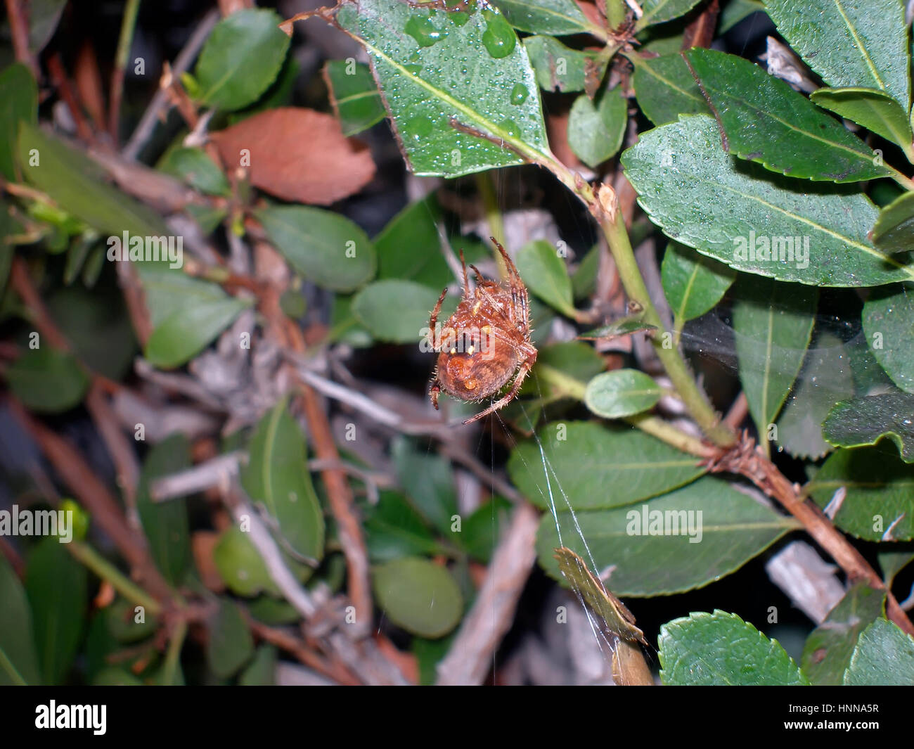 Orb Weaver Spider traverses an uncharacteristic web. - Stock Image