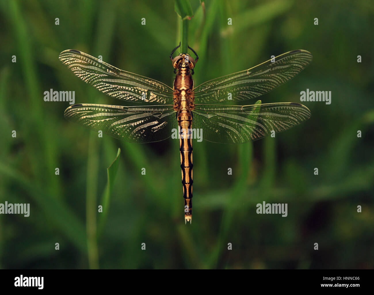 Dragonfly closeup - Stock Image