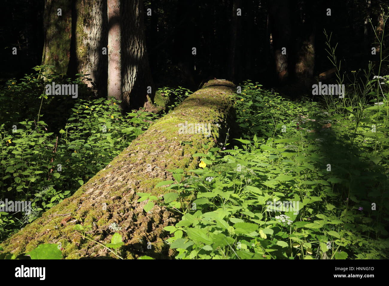 Decomposing trees (dead wood) in Bialowieza National Park, strict reserve - Stock Image