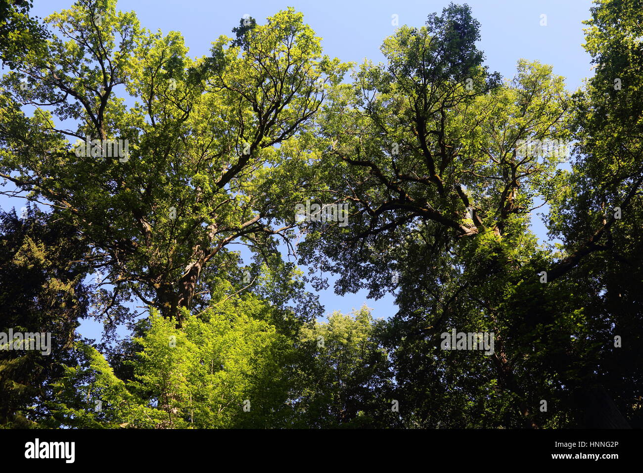 Trees in Bialowieza National Park - Stock Image
