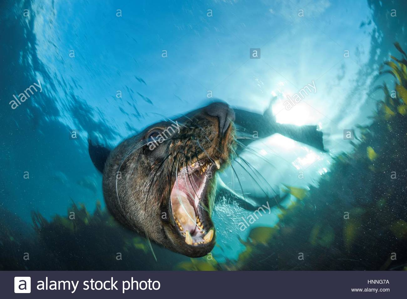 A bull fur seal asserts his dominance in Cape Town's Table Mountain National Park. - Stock Image