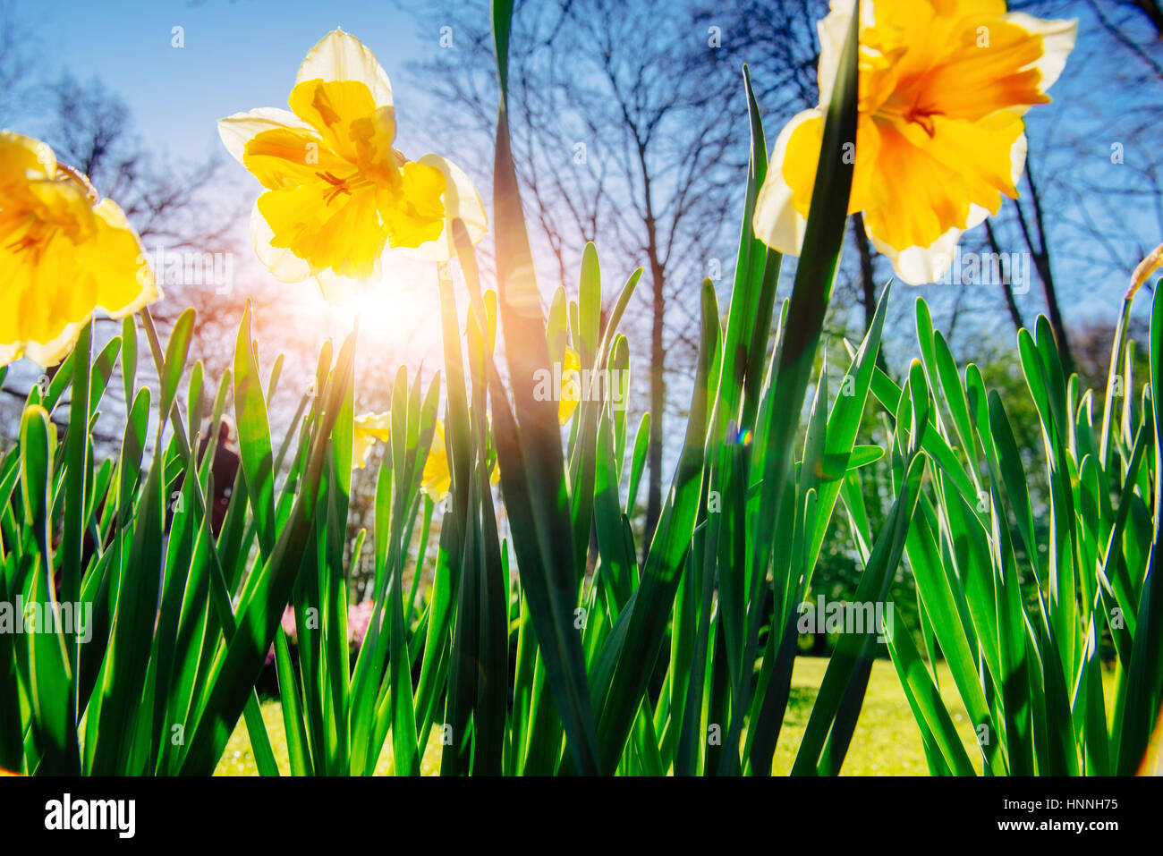 Yellow Daffodils in the gardens of Holland - Stock Image