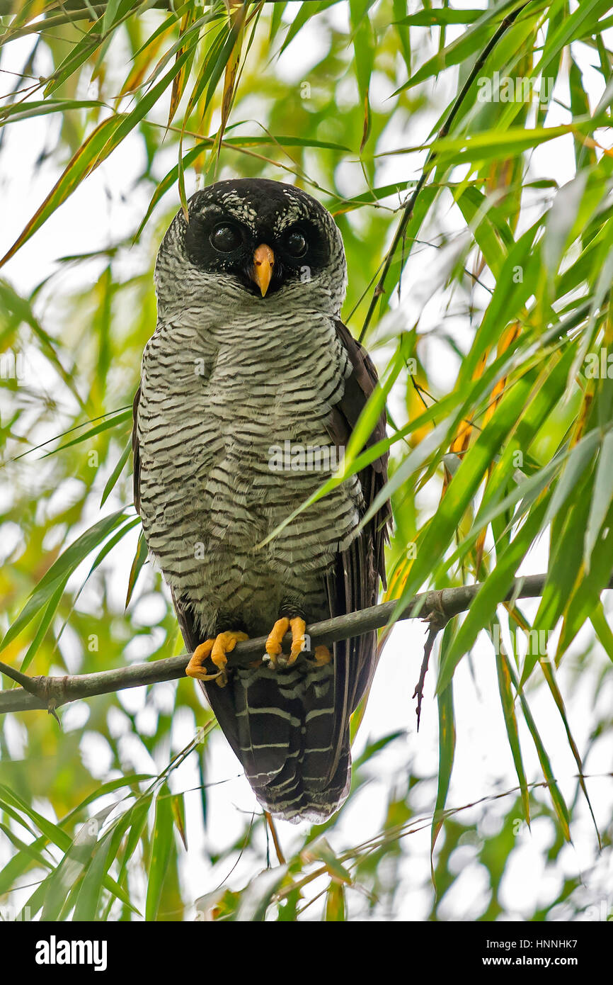 Black-and-white Owl (Ciccaba nigrolineata), Cali, Valle del Cauca - Stock Image