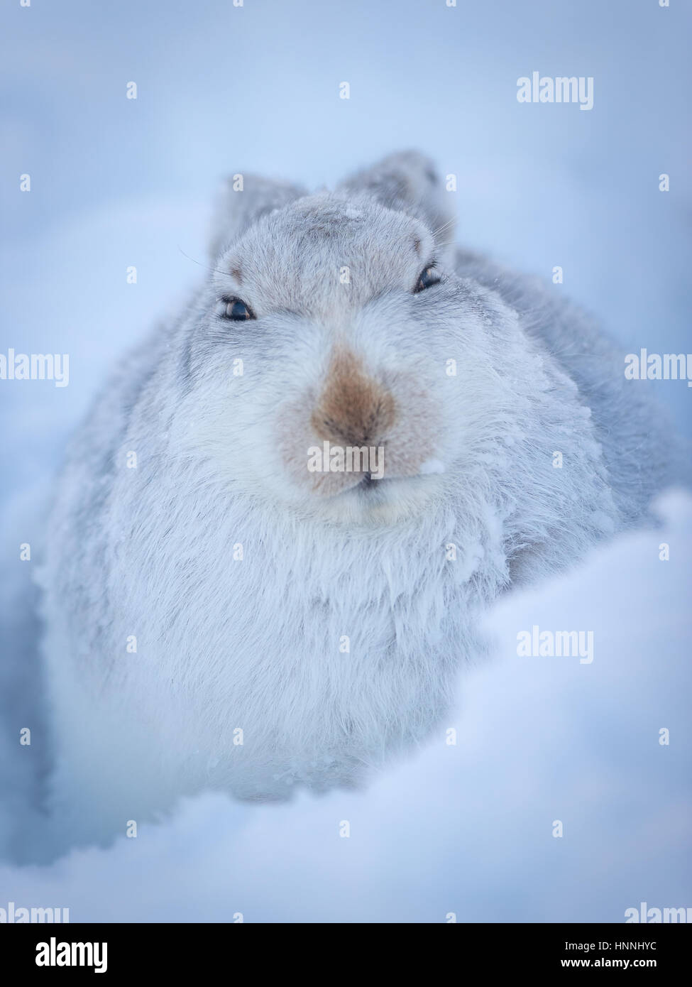 Scottish Mountain Hare (Lepus timidus) sitting among snow in Cairngorms National Park, Highlands, Scotland, Great - Stock Image