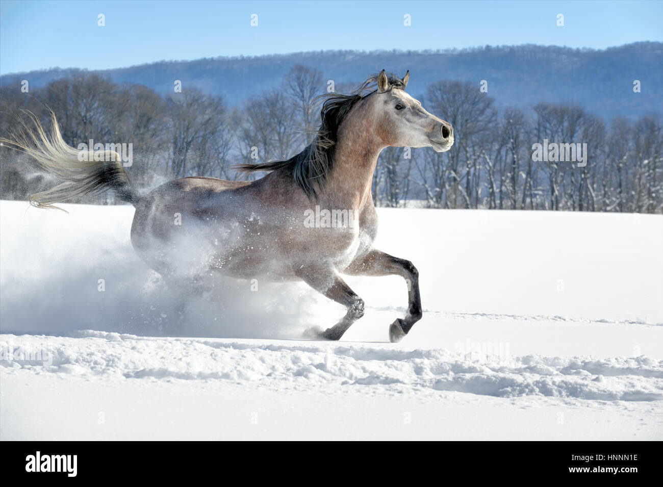 An Arabian Roan mare, a horse corralled in a farm field of fresh powder snow with a winter background of barren - Stock Image