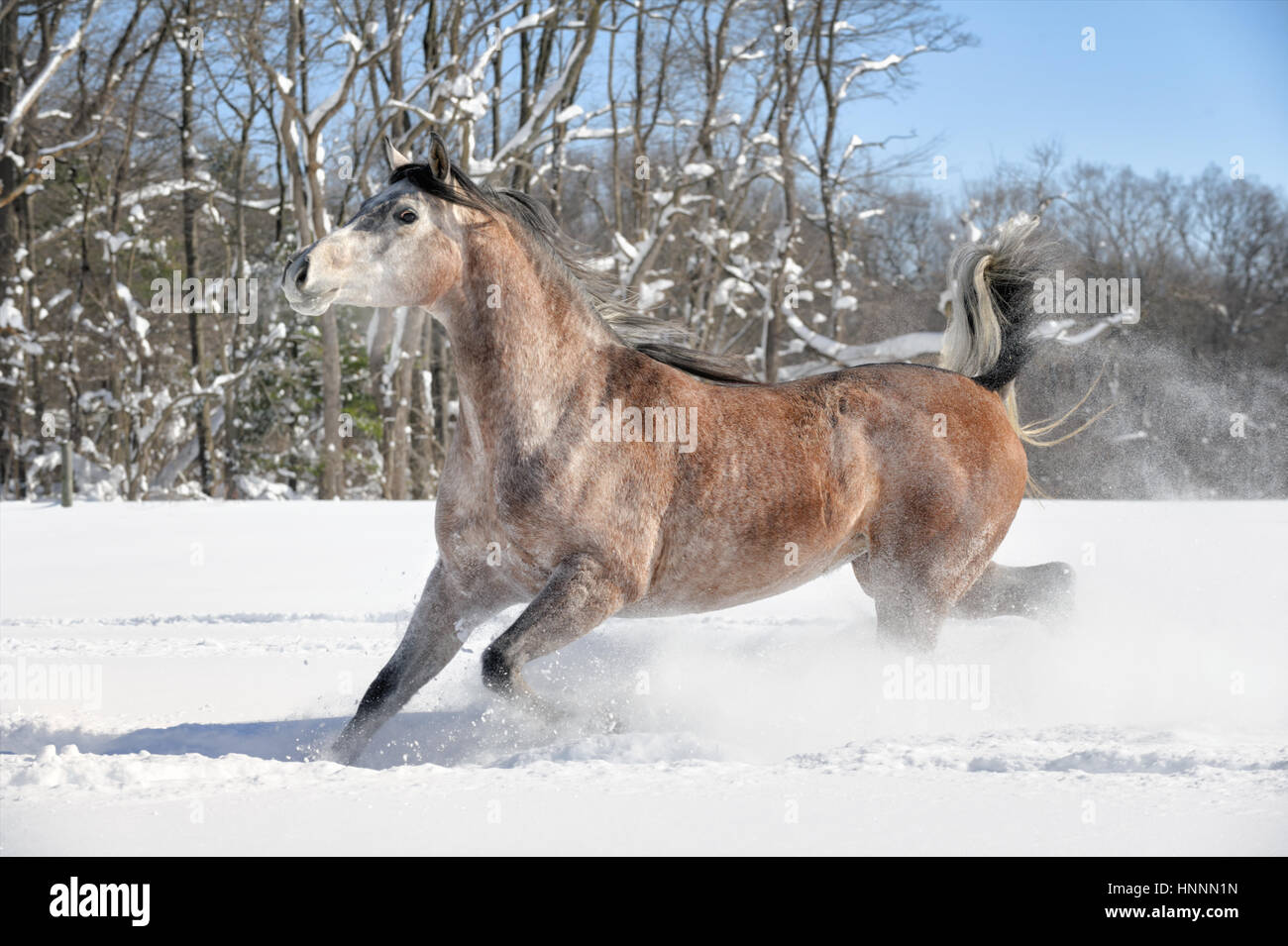 An Arabian Roan mare, a horse corralled in a farm field of fresh powder snow with a winter background of barren Stock Photo