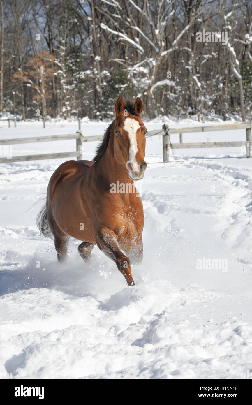 Chestnut Quarter horse with a white face and a black mane and tail running in deep powder snow in a corralled, fenced - Stock Image