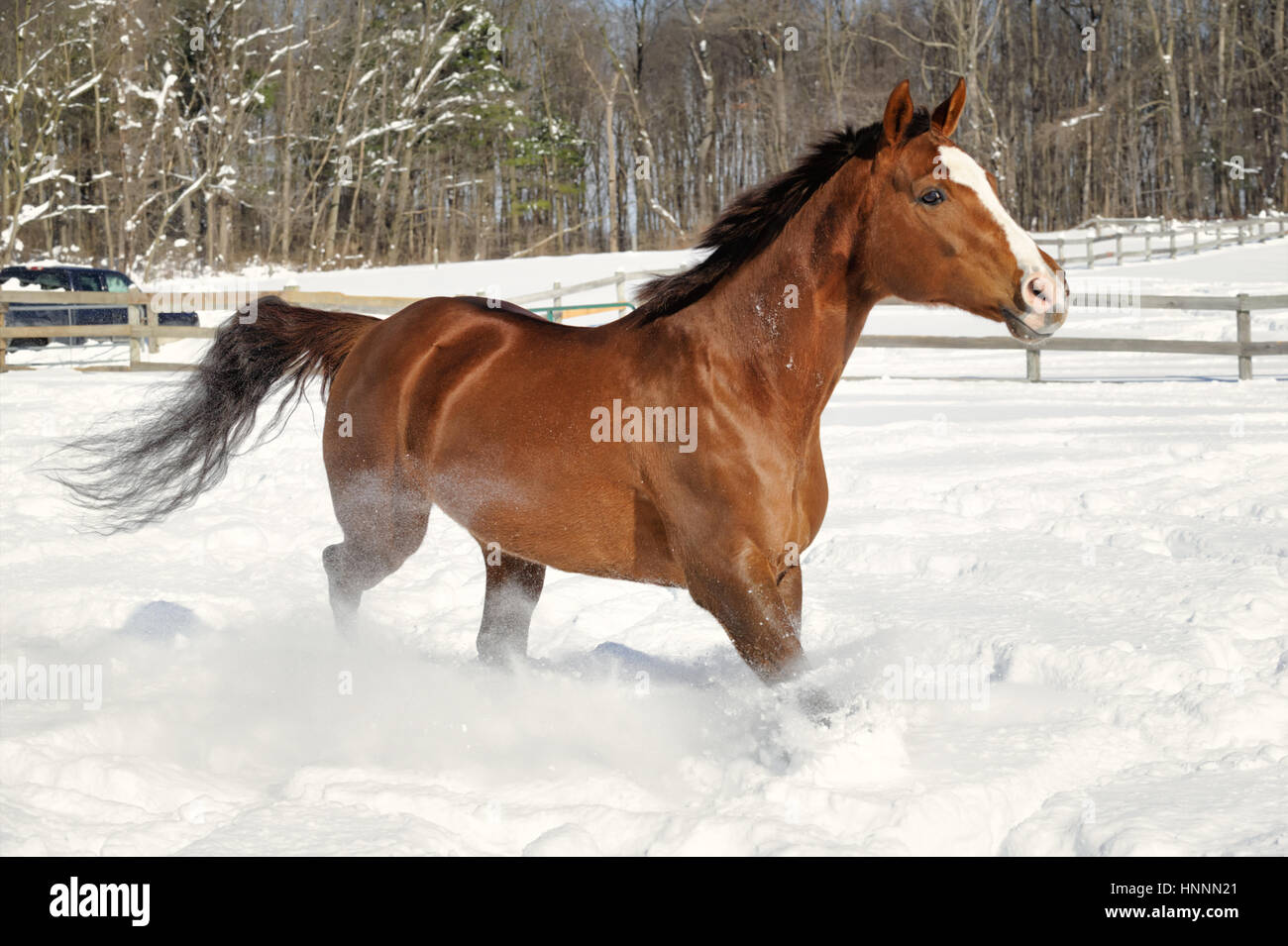 Chestnut Quarter Horse With A White Face And A Black Mane And Tail Stock Photo Alamy