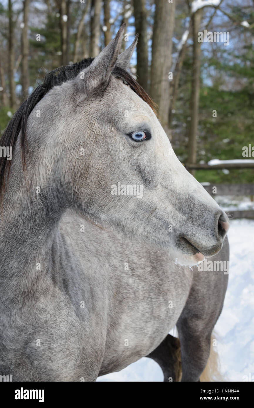 Close-up of a dappled-grey horse with a black mane and mystical blue eyes in a corralled pasture in the winter's - Stock Image