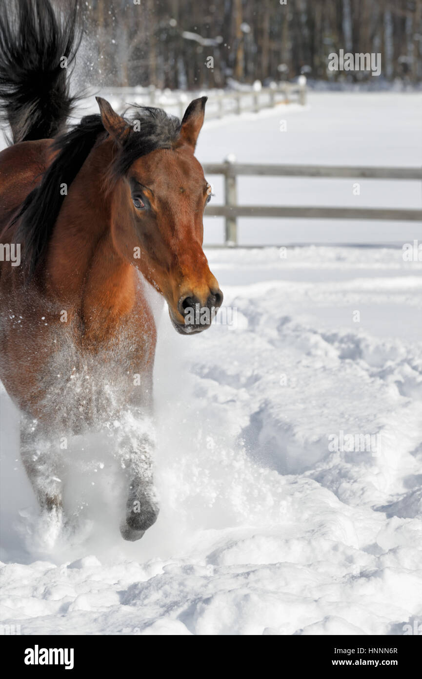 Exuberant Arabian Bay horse running and bucking in deep powder snow in a sunlit, fenced-in field in winter. Brown - Stock Image