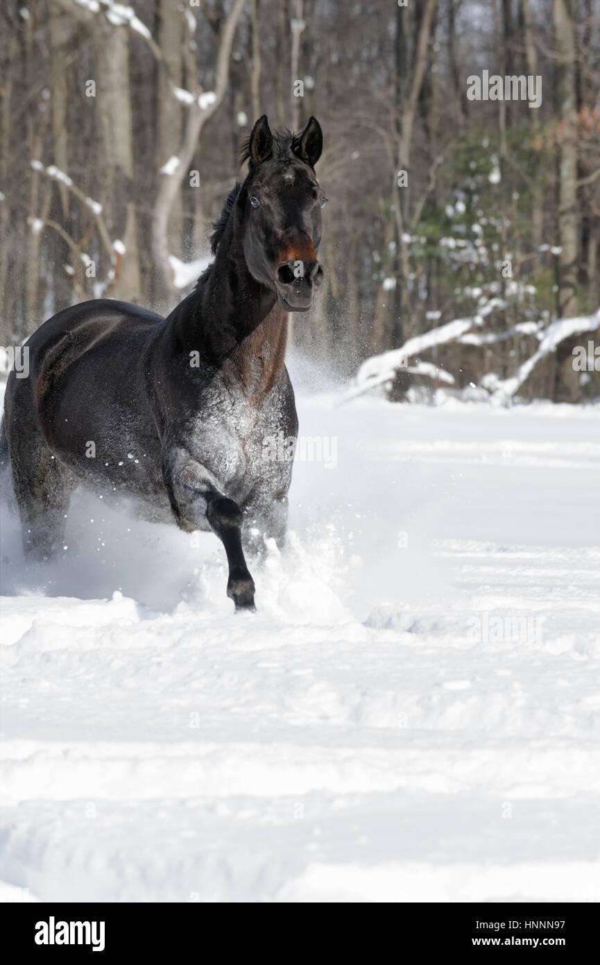 Black Beauty Quarter Horse With A Black Mane Running Vigorously Stock Photo Alamy