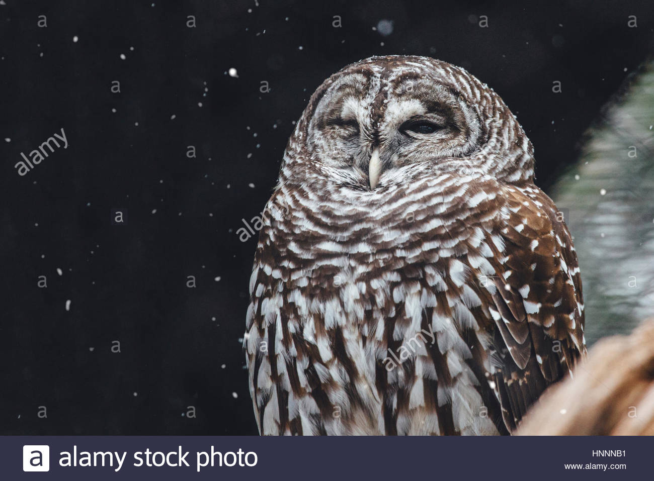 Close-up of owl during snow fall - Stock Image