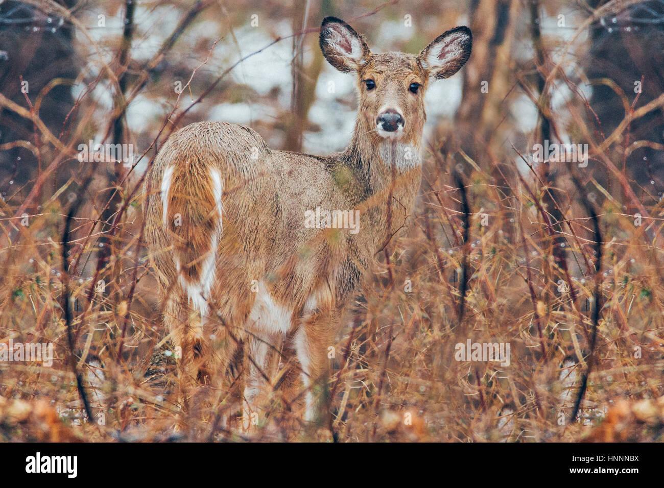Portrait of deer on field - Stock Image