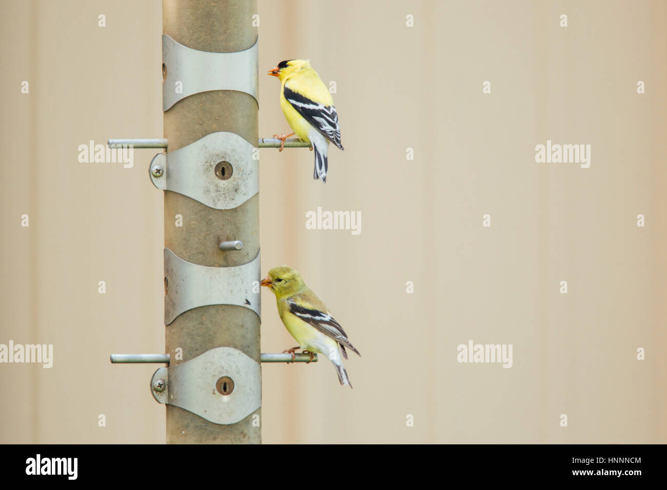 Gold finches perching on pole - Stock Image