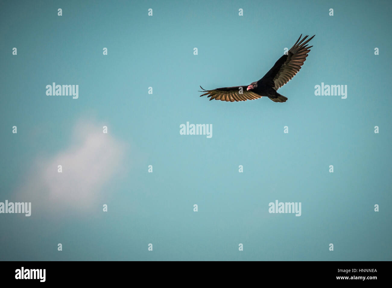 Low angle view of bird flying in blue sky - Stock Image