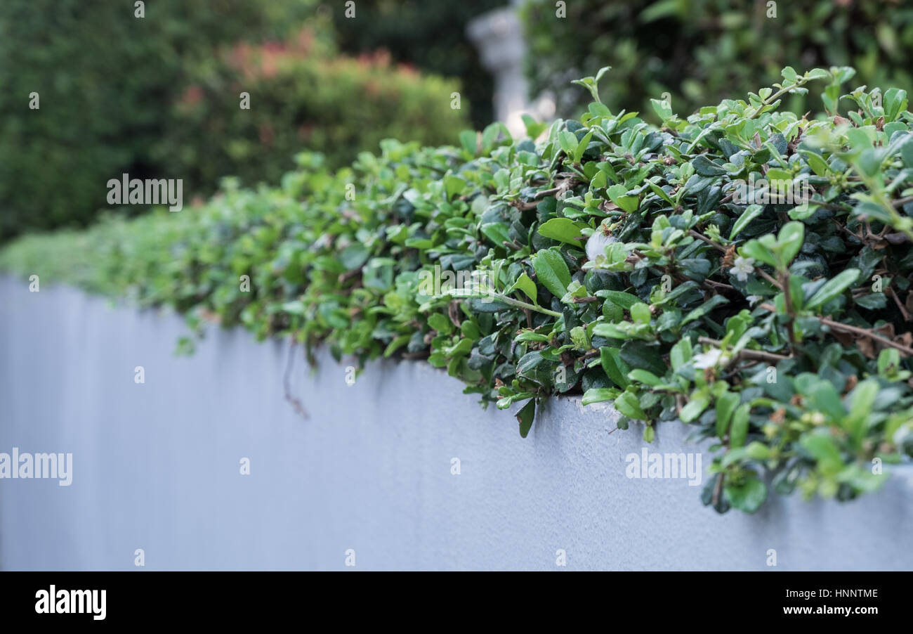 Low shrubbery on white solid wall, selective focus. - Stock Image