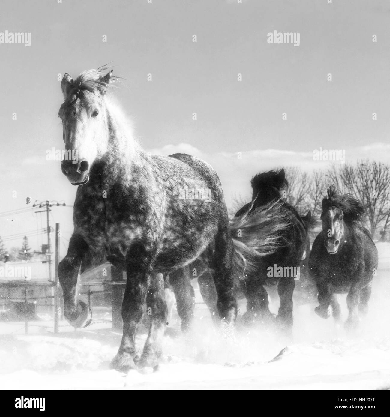 Horses Running Snow Black And White Stock Photos Images Alamy