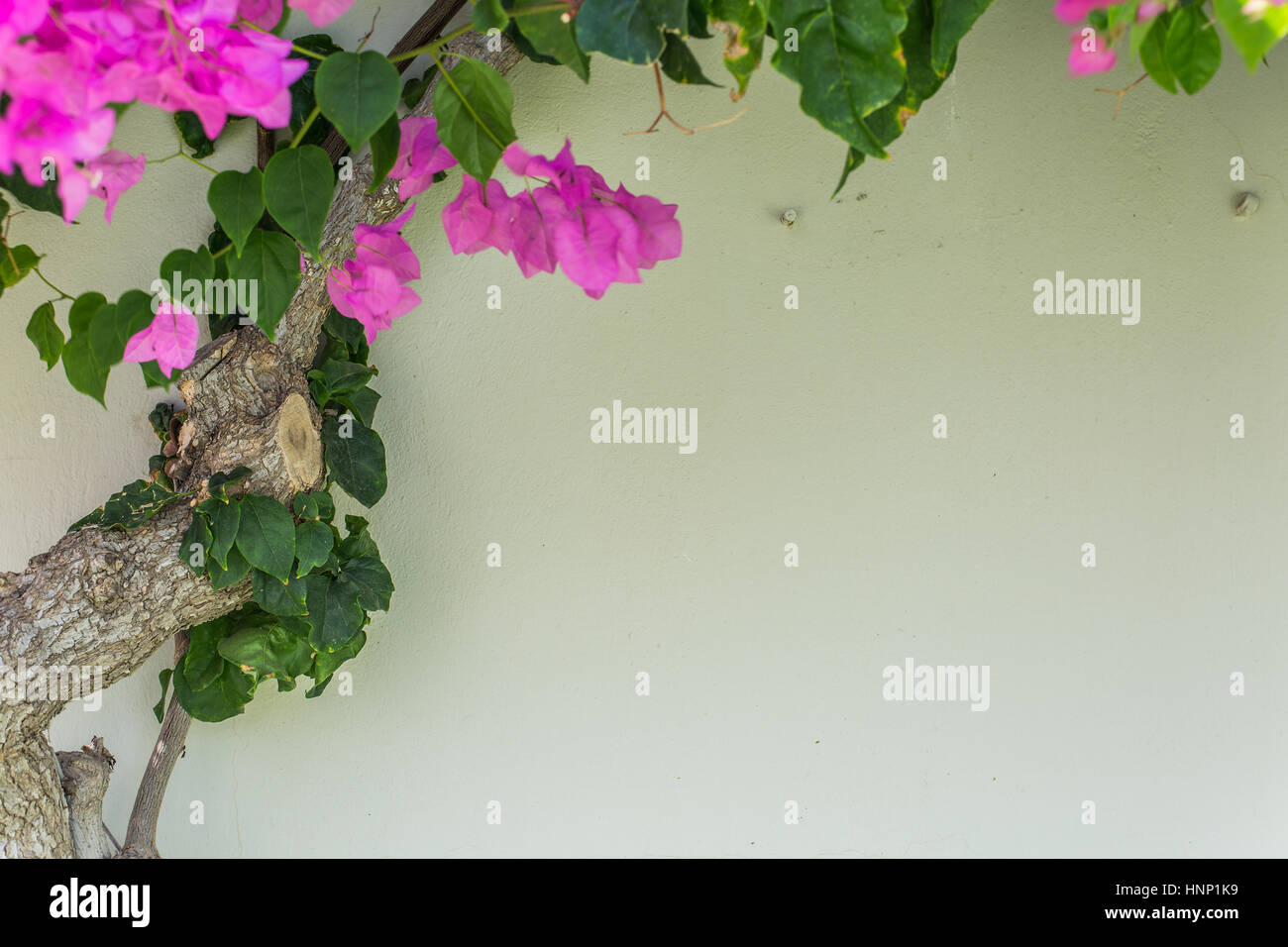 Evergreen Bougainville shrub as the wall decoration. - Stock Image