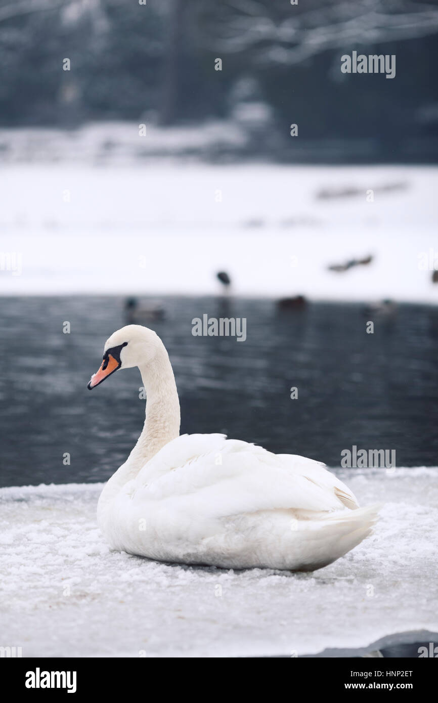 A white swan next to a lake in a wintery setting. - Stock Image